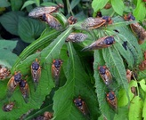 A group of Magicicada.  Photo credit: MSJ Cicada Web Site