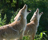 Coyote Couple.  Photo credit: Wolf Park