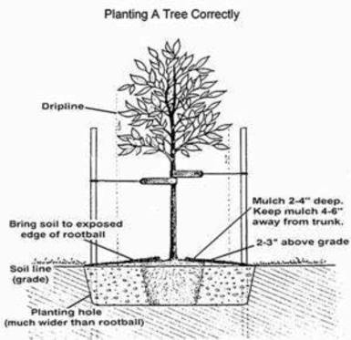Proper planting of a tree